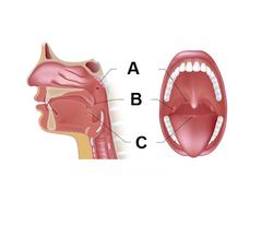 Pharyngeal Tonsils