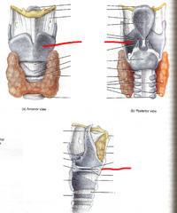 ***Thyroid cartilage
