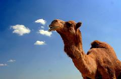 Camel Fur