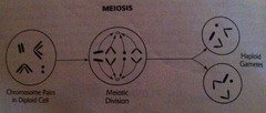 Meiosis (overview)