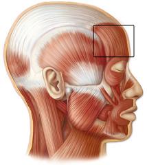 Epicranius (occipitofrontalis)