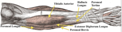 Extensor (perenous) longus