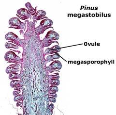 megasporophyll