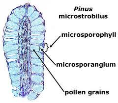 microsporophyll