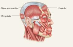 Occipital frontalis