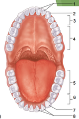 Premolars