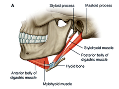 Stylohyoid