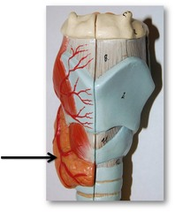 Superior thyroid artery