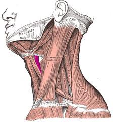 Thyrohyoid