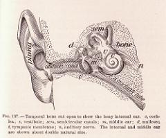 External auditory canal