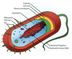 What does a basic prokaryote consist of?
