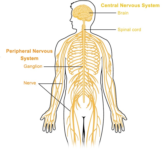 The Neurological system